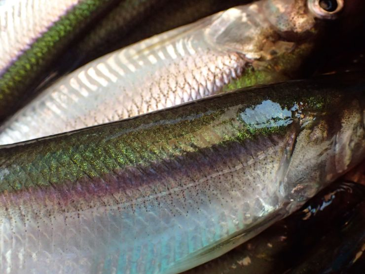 Rainbow smelt, a favorite seasonal food here at Riven Joiner & the Homestead Store.
