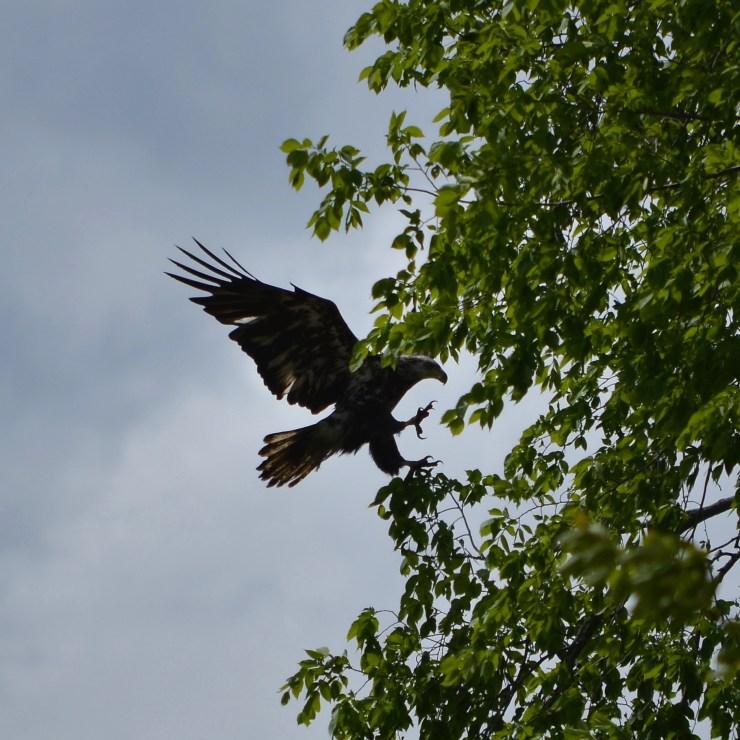Juvenile Bald Eagle fishing the Alewife Run, Town Landing, Columbia Falls, ME