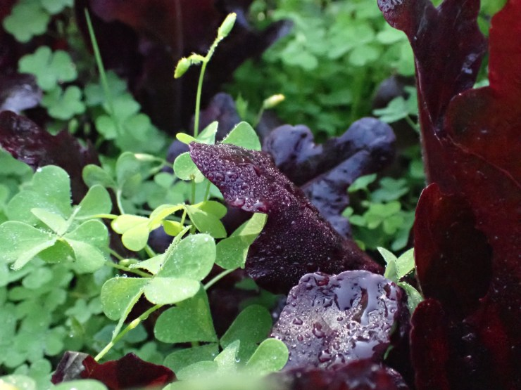 A close-up of red lettuce at Riven Joiner & the Homestead Store, Maine
