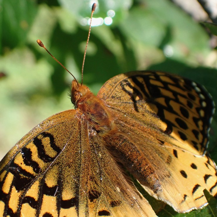 Great Spangled Fritillary on the homestead, at Riven Joiner & the Homestead Store.