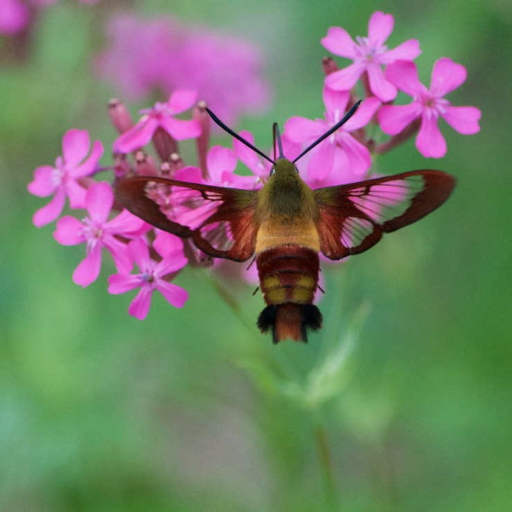 Hummingbird Clearwing Moth on Catchfly on the homestead, at Riven Joiner & the Homestead Store.