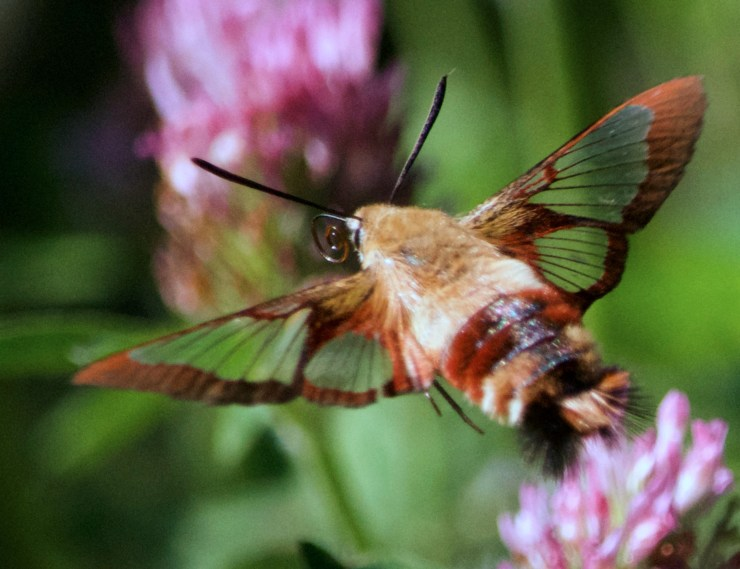 Hummingbird Clearwing Moth on clover on the homestead, at Riven Joiner & the Homestead Store.