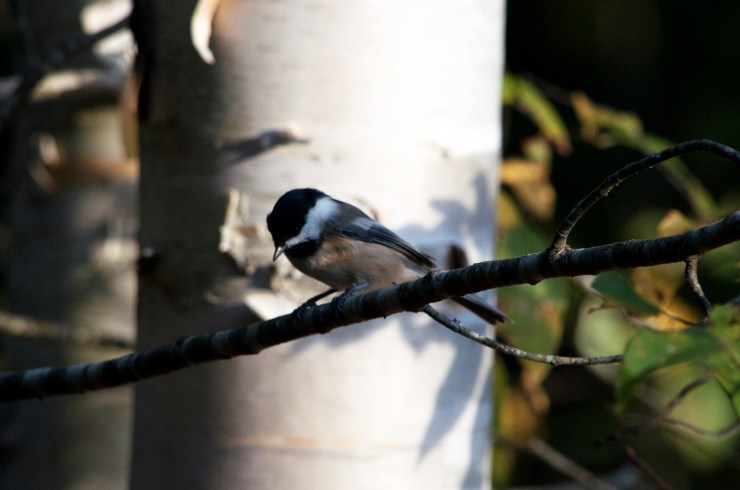 A Black-capped Chickadee waits on a branch for hand-feeding at Riven Joiner & the Homestead Store.