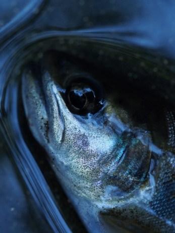 渓流魚の表情は光の当たり方と背景とのコントラストで驚くほどに変わる