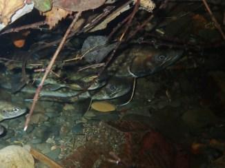 産卵を控えて岸際の影に群れるアメマス
