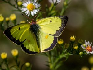 Sulphur butterfly on asters