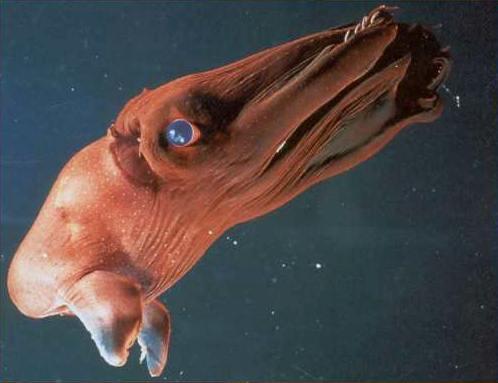 Vampire squid or Goldman trader?