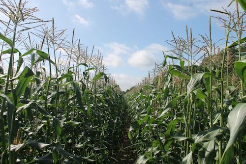 2013 1101 corn field