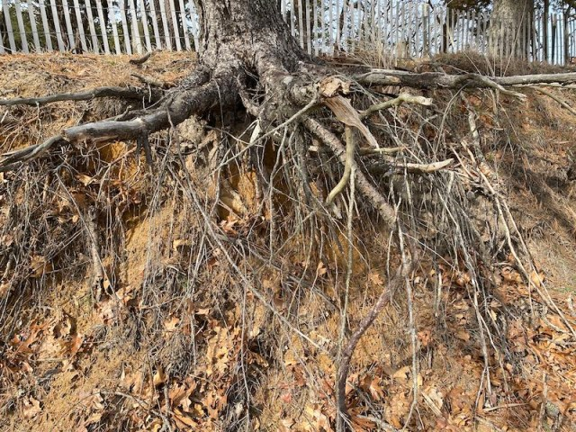 eroded-shoreline-exposed-tree-roots