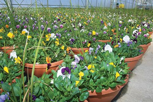 Potted ornamental plants in one of the greenhouses at Jamesport Greenhouses on Herricks Lane. (Credit: Barbaraellen Koch)