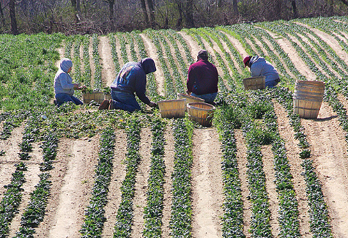 BARBARAELLEN KOCH FILE PHOTO | Farm workers harvesting spinach at Bayview Farm on the Main Road in Aquebogue in 2010.