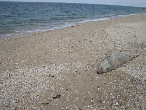 COURTESY PHOTO   The body of a female gray seal was found on a Southold Town beach Saturday morning.