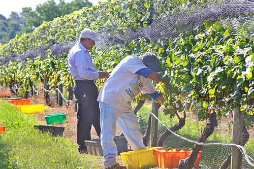 Migrant farmworkers at a North Fork vineyard. (Credit: Barbaraellen Koch, file)