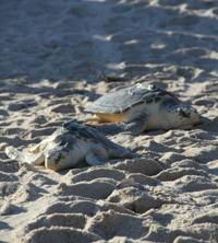 COURTESY | Two of the Kemp's Ridleys sea turtles on their way home.