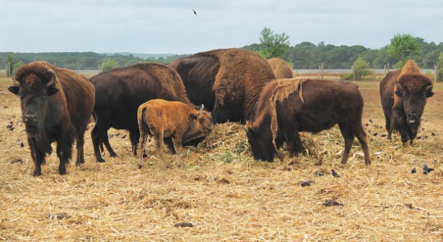 A buffalo calf feeds at North Quarter Farm in Riverhead Tuesday. Owner Ed Tuccio said the dry summer season decreased the newborn mortality rate. (Credit: Carrie Miller)