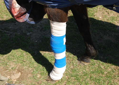 Veronica's leg was bandaged Sunday morning and her wound will be treated with antibiotics. (Credit: Grant Parpan)