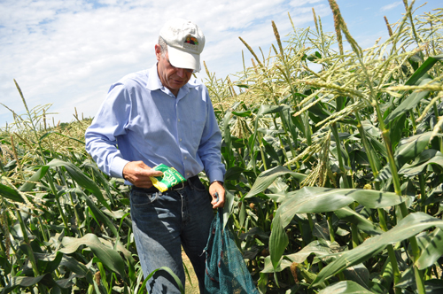 RACHEL YOUNG PHOTO | Ed Harbes picks super sweet corn Wednesday afternoon at Harbes Family Farm in Mattituck.