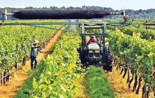Macari Vineyard, Long Island Wine Country