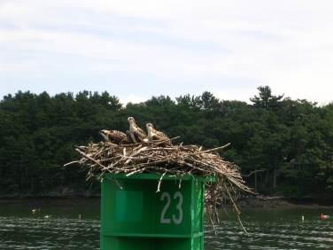 Osprey on a Can