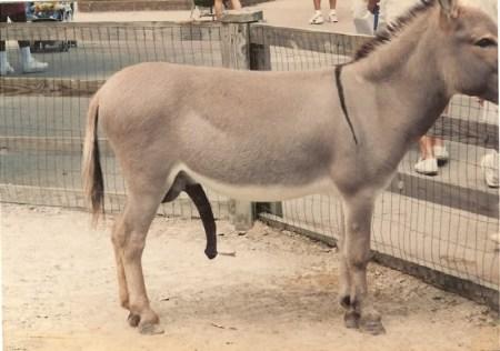 donkey_dick