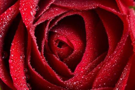 work.1316579.1.flat,550x550,075,f.red-rose