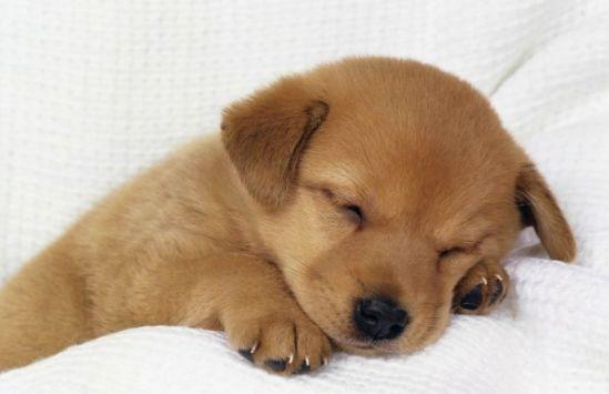 Gambar daur hidup anjing dan penjelasan