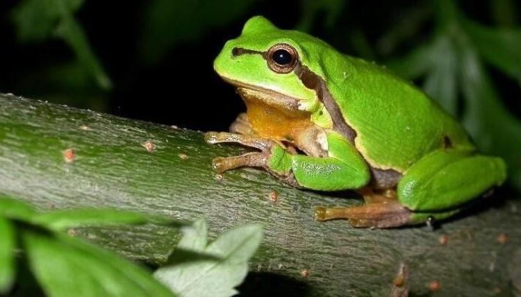 Ilustrasi daur hidup katak usia dewasa