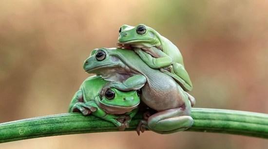 Siklus daur hidup katak