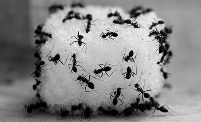 Gambar cara membasmi semut