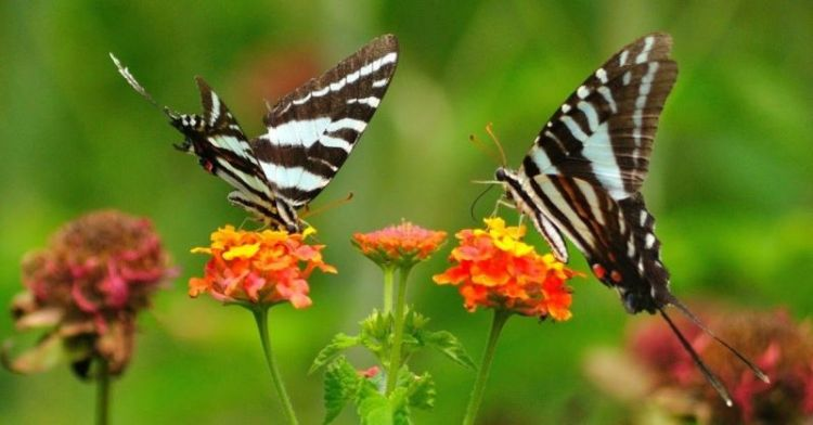 Ilustrasi hewan kupu-kupu