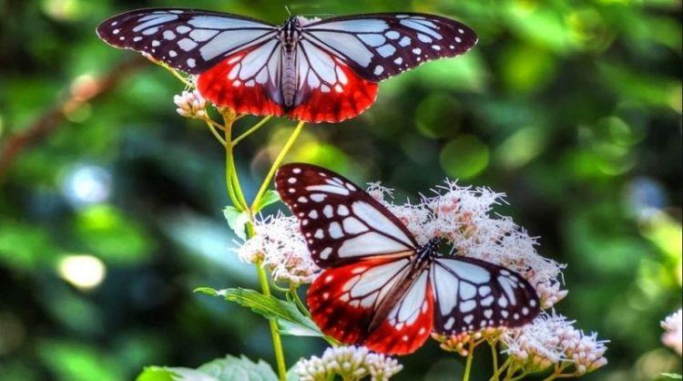 Manfaat adanya kupu bagi manusia