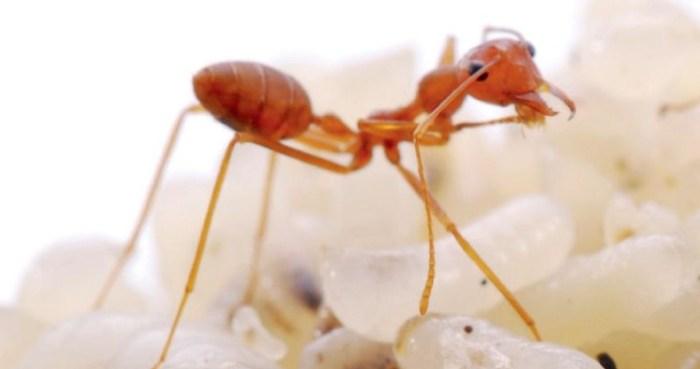 Cara semut berkembang biak