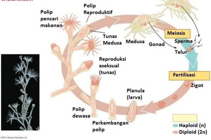 Metagenesis hidup dari Obelia sp