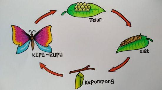 Ilustrasi skema daur hidup kupu kupu