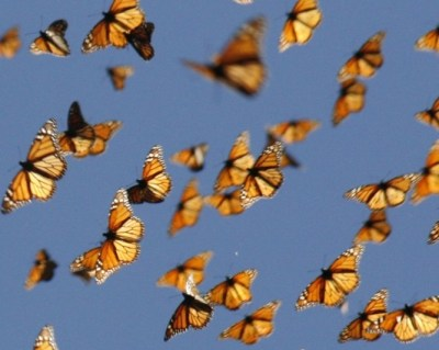 Monarchs flying in Wired Magazine