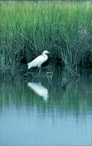 Snowy Egrets are seen often in the Swamp. As are...