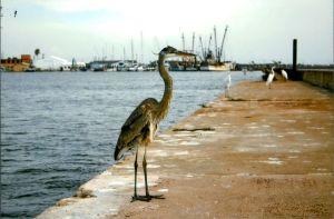 ...Great Blue Herons