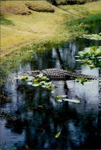 Alligators are often seen on the lower section of the Cape Fear River.