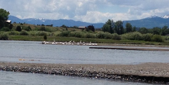 Pelicans hanging out in the Yellowstone River watching boaters float by