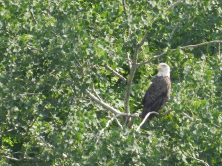 A bald eagle observes paddlers below