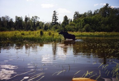 A moose emerging from the river.