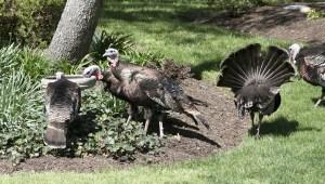 Turkeys at the birdbath