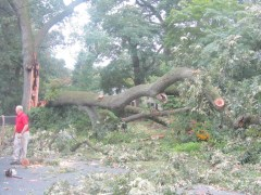 town tree near Cedar Street 1