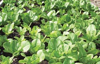 lettuce_web.jpg