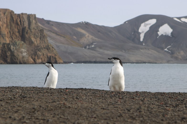 Chinstrap Penguins, Deception Bay