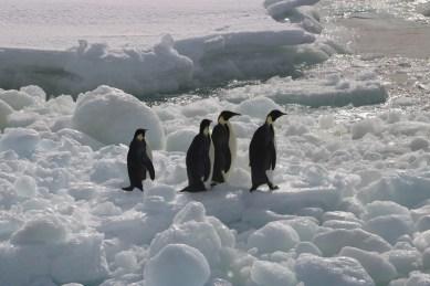 Emperor Penguins, Ice flow, Cape Hallet