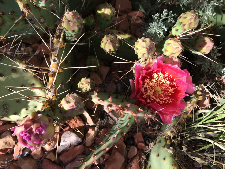Prickley Pear blooming.