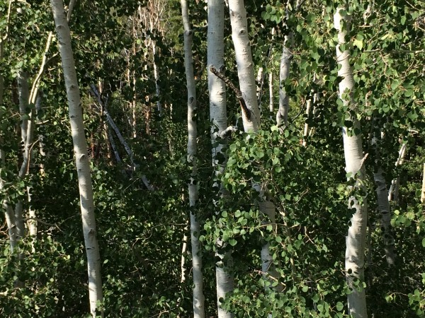 Aspens on Monitor