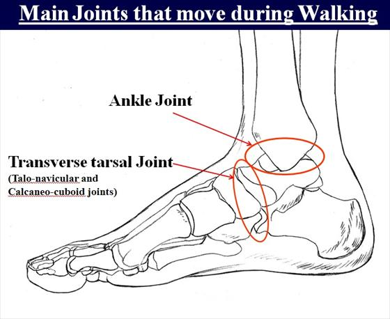 HA! The ankle is the main joint that moves! Mine was locked in place. plenty of work to do.