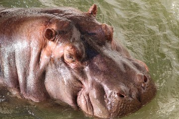 Pollux the hippo